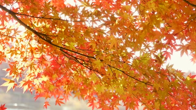 fall foliage: water reflection on colored maple leaves - japanese maple stock videos & royalty-free footage