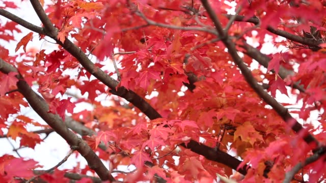 fall leaves on tree - dissolvenza in apertura video stock e b–roll