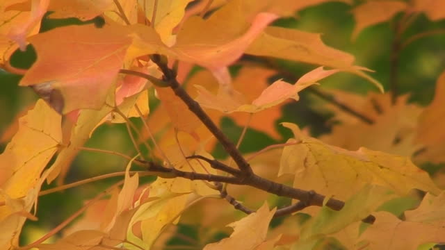fall maple tree twig - twig stock videos & royalty-free footage