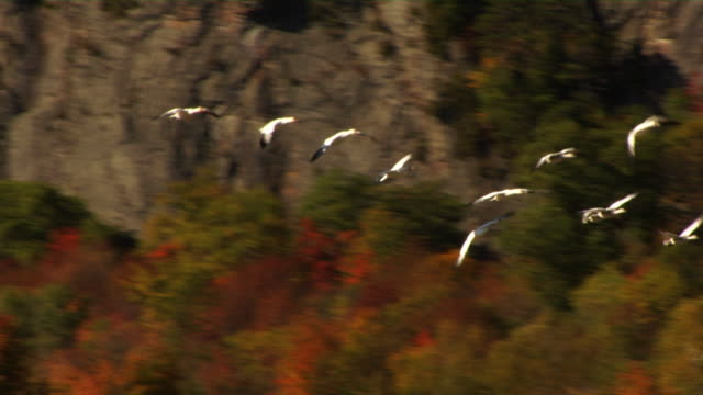 fall migration.. - canada goose stock videos & royalty-free footage