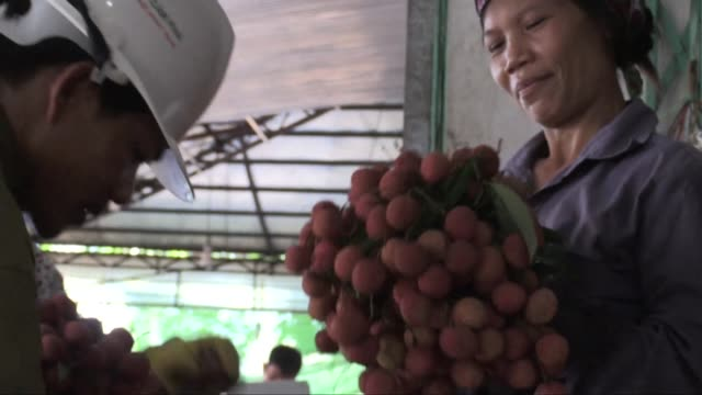 vídeos de stock e filmes b-roll de fall out from political bickering between hanoi and beijing is driving a shift into new markets for vietnamese lychee farmers with exports to... - lichia