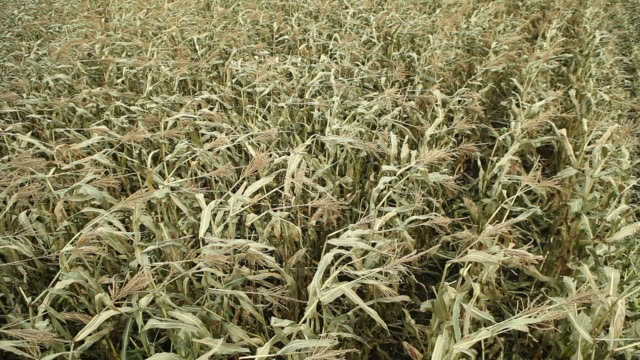 fall sweet corn field moving with the wind - tassel stock videos & royalty-free footage