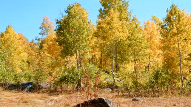 Fall trees wide Aspens Steens Mountain Near Malhuer Wildlife Refuge 8