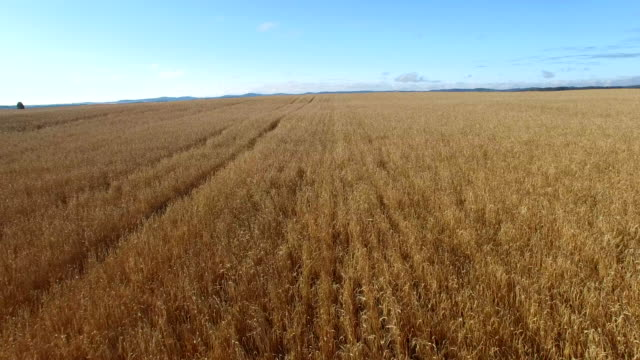 fall wheat field before a harvest - hay field stock videos & royalty-free footage