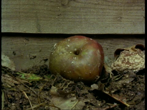 T/L CU fallen apple rotting