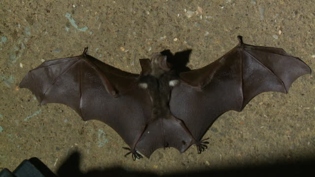 a fallen bat at gua tempurung  cave, kl, malaysia - spread wings stock videos & royalty-free footage