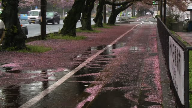 fallen cherry petals in rain, yamaguchi, japan - meteorologie stock-videos und b-roll-filmmaterial