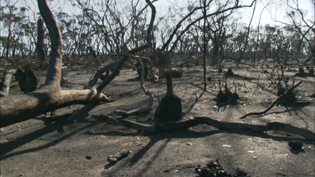 ms td fallen dead tree on ground with smoke rising and ashes in foreground, eyre peninsula, south australia, australia - burnt stock videos & royalty-free footage