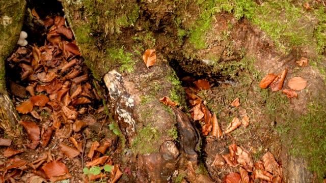 vídeos de stock, filmes e b-roll de folhas caídas em uma árvore na floresta. folhas vermelhas caídas em uma raiz da árvore em uma floresta luxúria do outono. movimento da câmera de captura linear. - estampa de folha