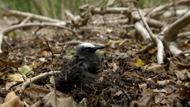 Fallen noddy tern chick stuck in pisonia seeds