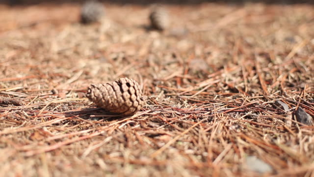 fallen pine cones - pinecone stock videos & royalty-free footage