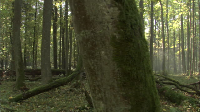 fallen tree in forest, bialowieza, poland - poland stock videos & royalty-free footage