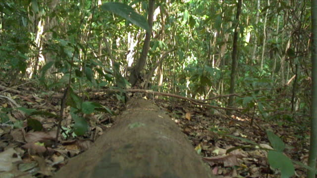 ws fallen tree trunk in jungle / similan islands, thailand - fallen tree stock videos and b-roll footage