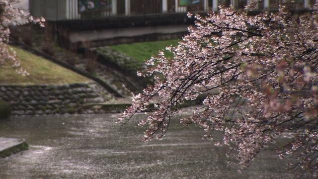 Falling Cherry Blossoms, Toyama, Japan