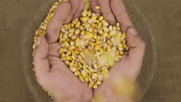 Falling corn grains in human palms on the background of a sack with grain.