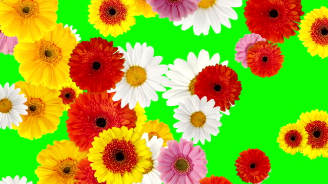 falling gerbera daisy on green screen - flower head stock videos & royalty-free footage