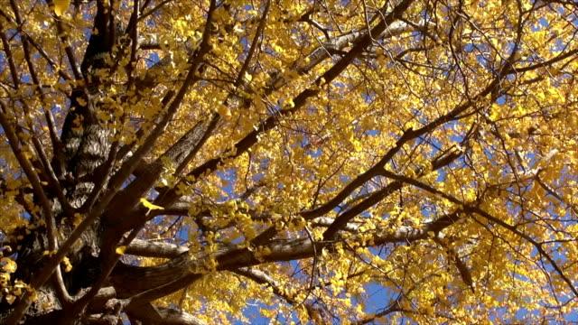 ginkgo blätter fallen vor blauem himmel - ginkgobaum stock-videos und b-roll-filmmaterial