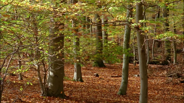 falling leaves carpet the forest floor. - beech tree stock videos and b-roll footage