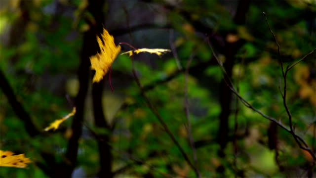 falling leaves - maple tree stock videos & royalty-free footage