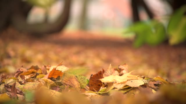 falling maple leaves - autumn leaf color stock videos and b-roll footage