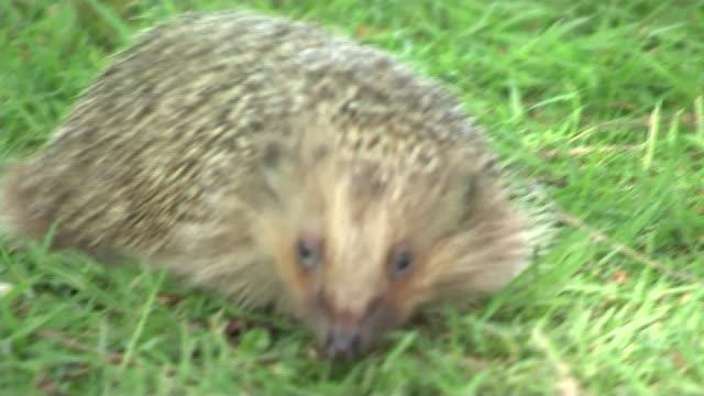 Falling numbers of hedgehogs T19051526 / TX Haddenham EXT Various shots hedgehogs