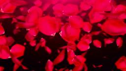 Falling Rose Petals on black background