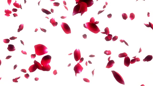 falling rose petals white background - bouquet stock videos and b-roll footage