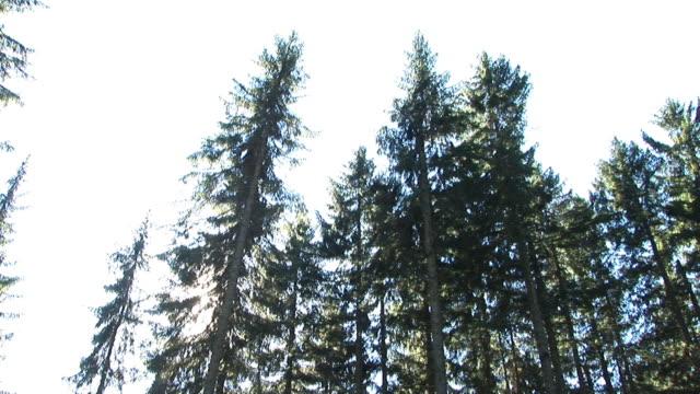 hd: falling tree - spruce tree stock videos & royalty-free footage