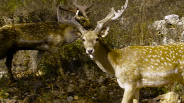 Fallow Deer 4