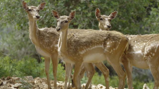 Fallow Deer 7