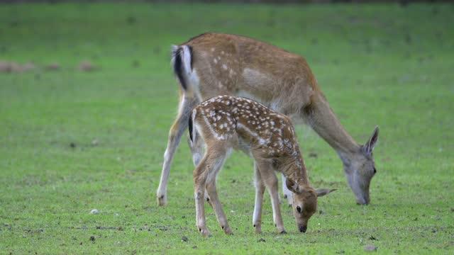 vídeos de stock, filmes e b-roll de fallow deer, dama dama, doe with fawn - corça