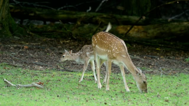 fallow deer, dama dama, female animal with fawn - fawn stock videos & royalty-free footage