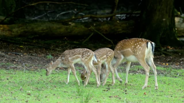 vidéos et rushes de fallow deer, dama dama, female animal with two fawns - faon