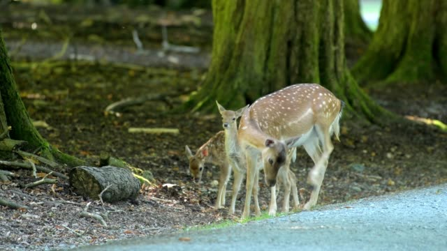 fallow deer, dama dama, female animal with two fawns - fawn stock videos & royalty-free footage