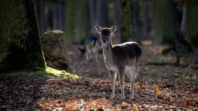 vídeos de stock, filmes e b-roll de fallow deer, dama dama, female in forest - corça