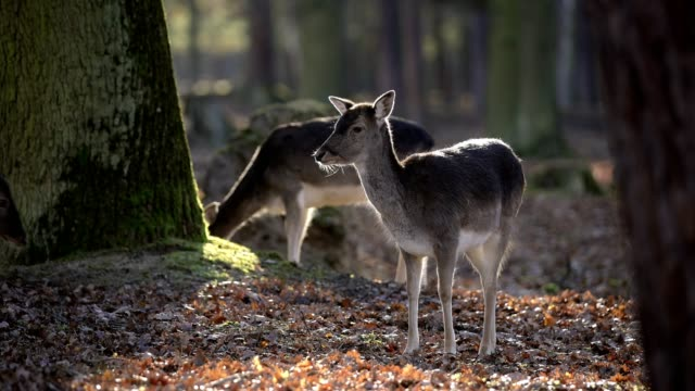 fallow deer, dama dama, females animals in forest - hesse germany stock videos & royalty-free footage