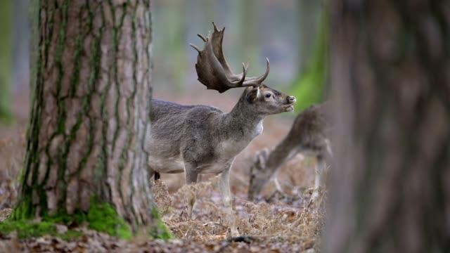 fallow deer, dama dama, in forest - hirsch stock-videos und b-roll-filmmaterial