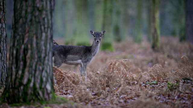fallow deer, dama dama, in forest - hirsch stock-videos und b-roll-filmmaterial