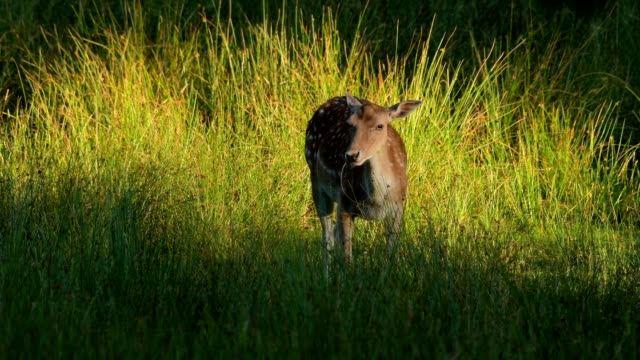 stockvideo's en b-roll-footage met fallow deer, dama dama, in meadow at sunset - reekalf