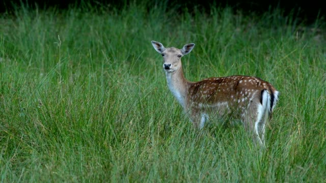 fallow deer, dama dama, in meadow - fawn stock videos & royalty-free footage