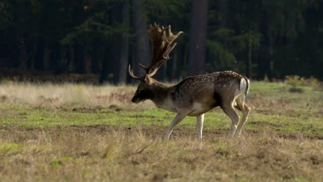 vídeos de stock, filmes e b-roll de fallow deer, dama dama, rutting season - corça