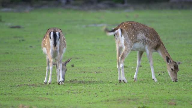 vídeos de stock, filmes e b-roll de fallow deer, dama dama - corça