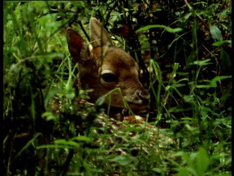 Fallow deer fawn lies in undergrowth