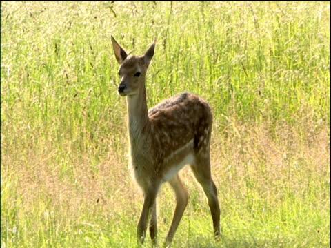 Fallow deer fawn walks through grassy field Cotswolds