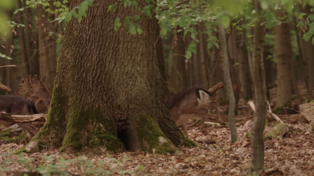 fallow deer foraging in the black forest - deer stock videos & royalty-free footage