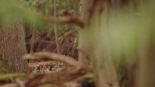 fallow deer foraging in the black forest - small group of animals stock videos & royalty-free footage