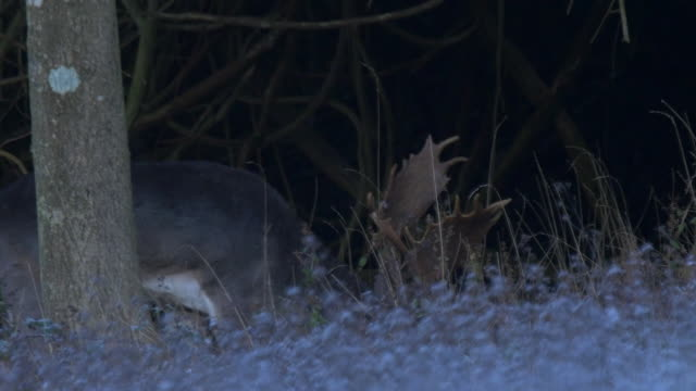 fallow deer (dama dama) grazing in the woods in sussex - antler stock videos & royalty-free footage