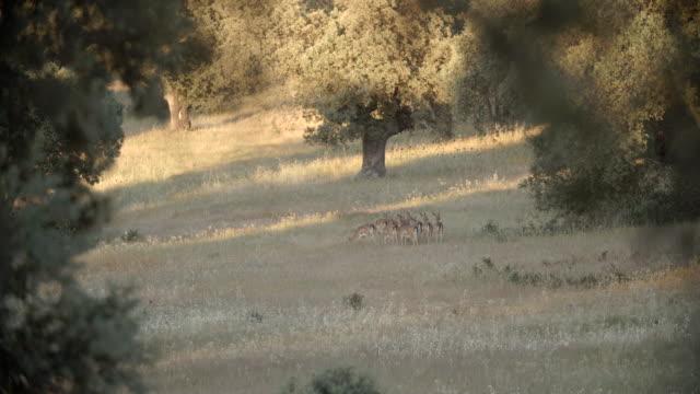 Fallow Deer Grazing on Grassland / Toledo, Spain