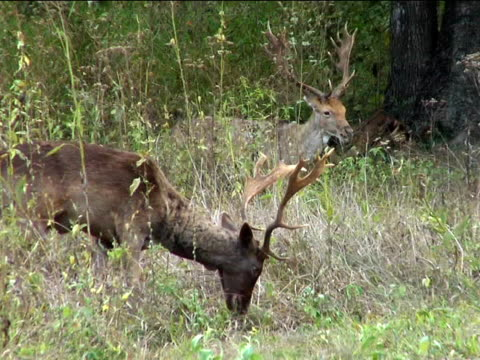 fallow deer grazing - named wilderness area stock videos & royalty-free footage