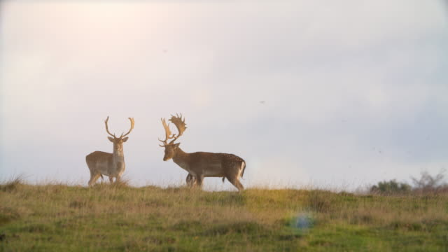 休日鹿の交配シーズン - オーレスン地域点の映像素材/bロール